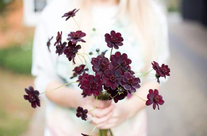 woman holding a bouquet of chocolate cosmos flowers