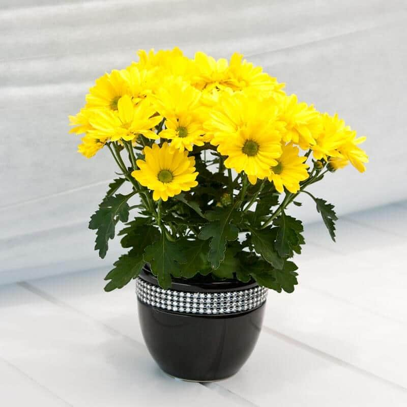 yellow daisies in a container