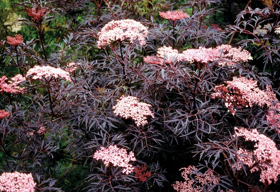 elderberry black lace shrub with pink flowers