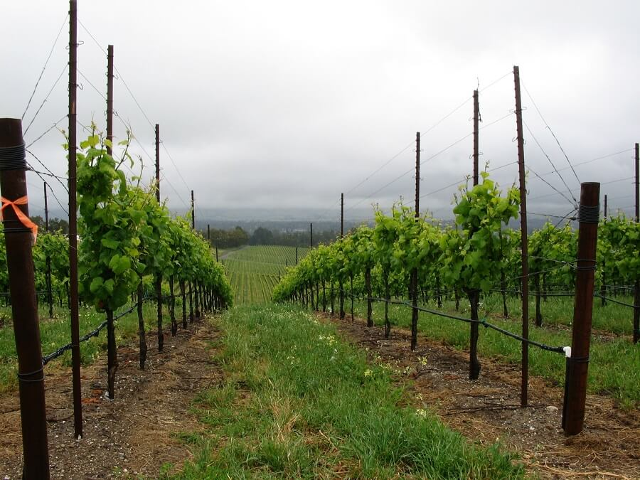 grape vines climbing on trellises in a vineyard