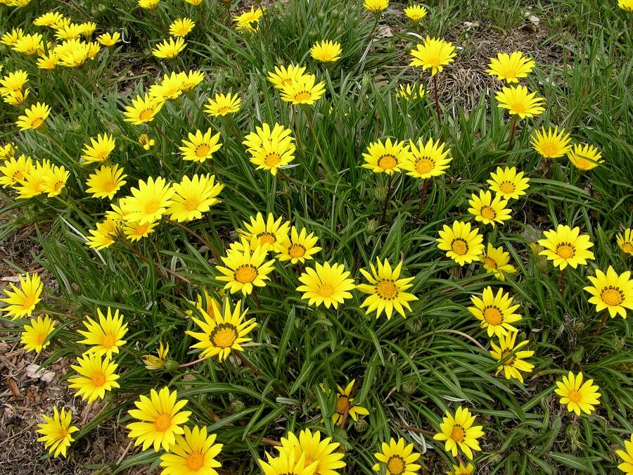 yellow daisies grown as ground cover