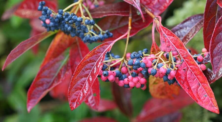 viburnum brandywine shrub with pink and dark blue berries