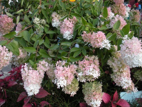 panicle hydrangea shrub with pink and white flowers