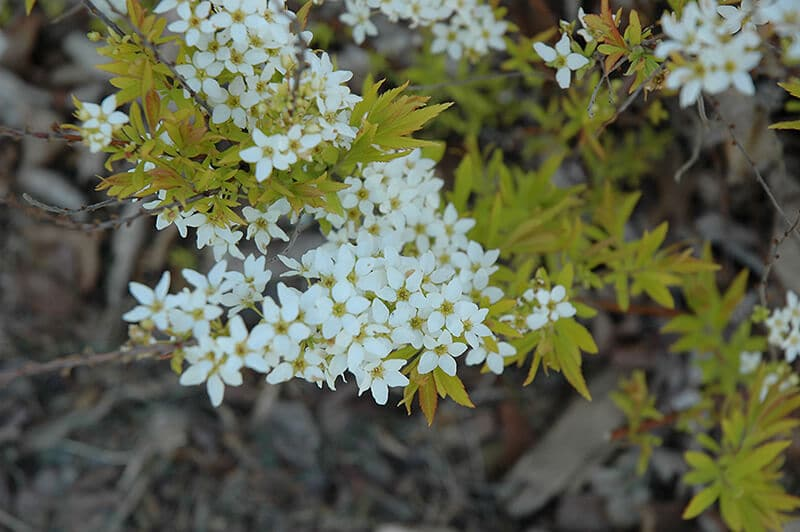 spirea mellow yellow shrub with small white flowers