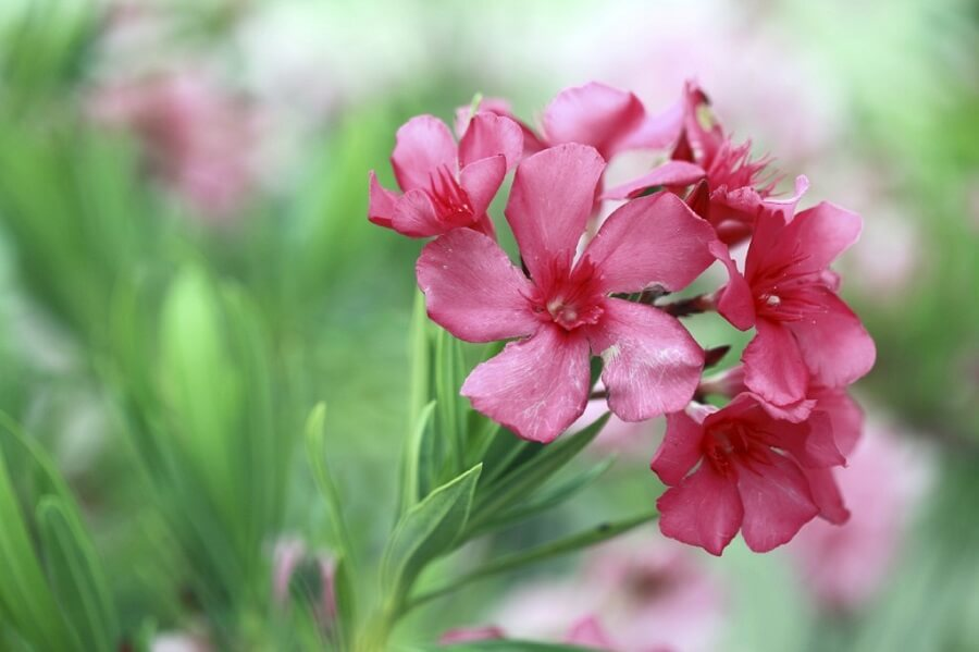 close up of pink oleander flowers
