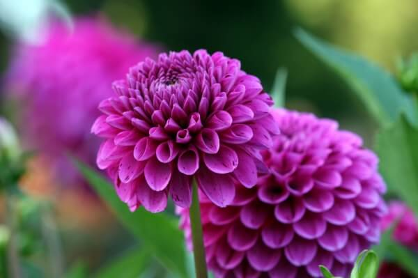 purple dahlia flowers