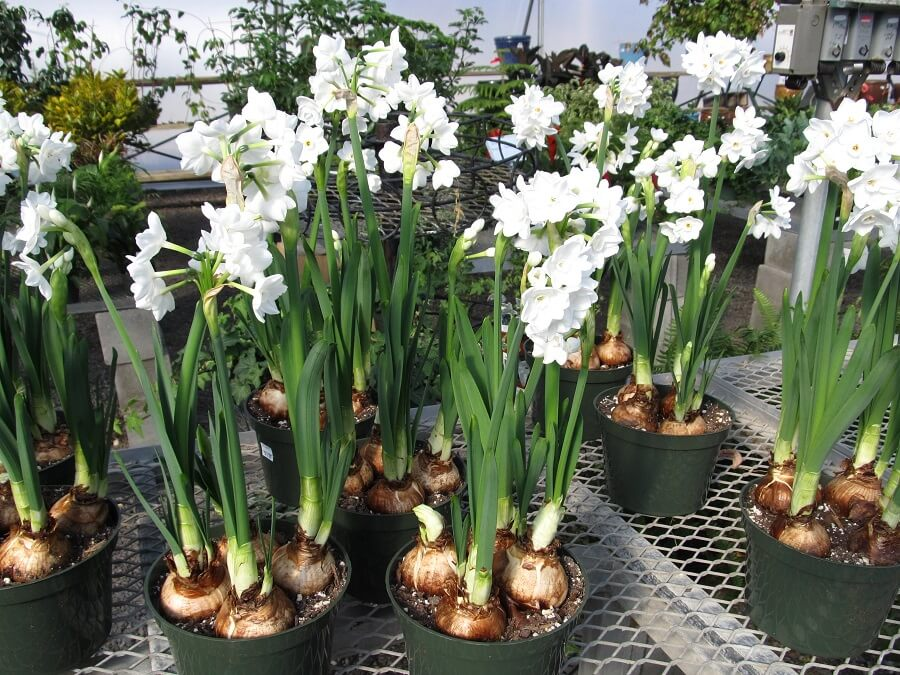 How to plant paperwhite bulbs both indoors and outdoors mightylinksfo