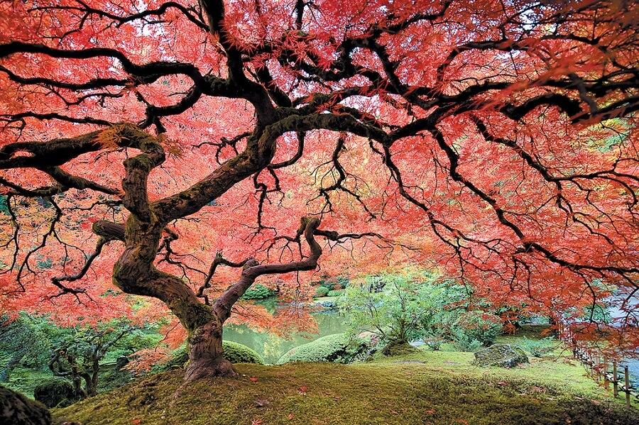 your guide to pruning japanese maple 11 essential steps rh everythingbackyard net Product Maple 14 Maple 13 Product