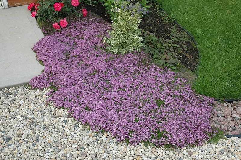creeping thyme with purple blooms