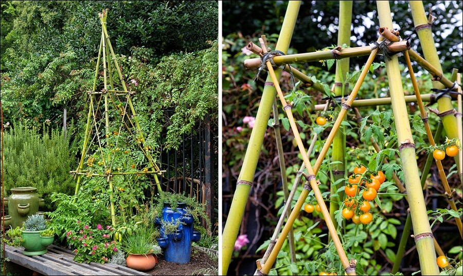 cherry tomatoes growing on a teepee shaped bamboo trellis