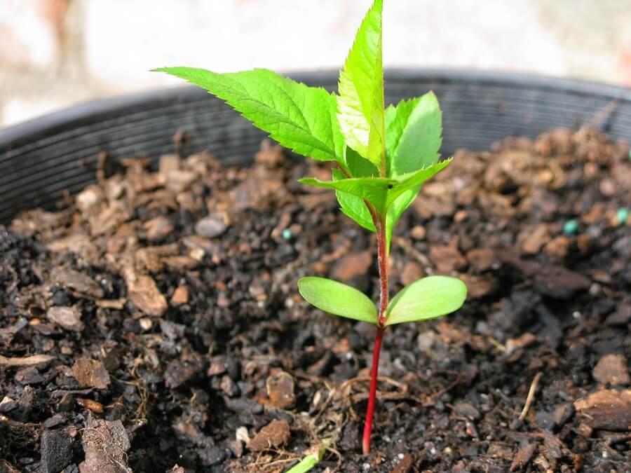 apple tree seedling in a pot