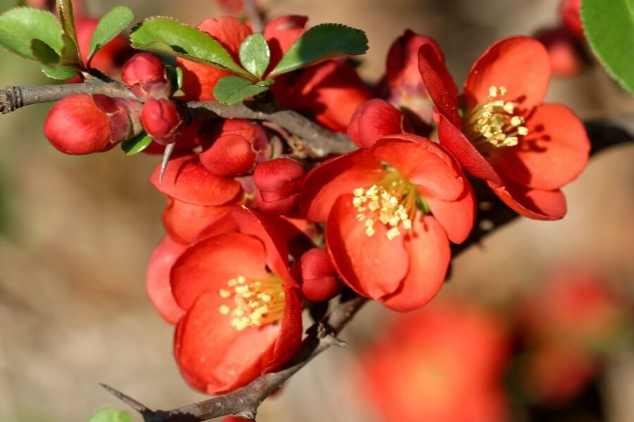 red flowering quince blooms