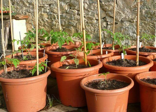 tomatoes growing in brown pots