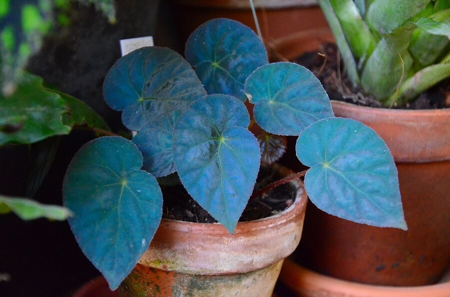 a blue begonia plant in a pot