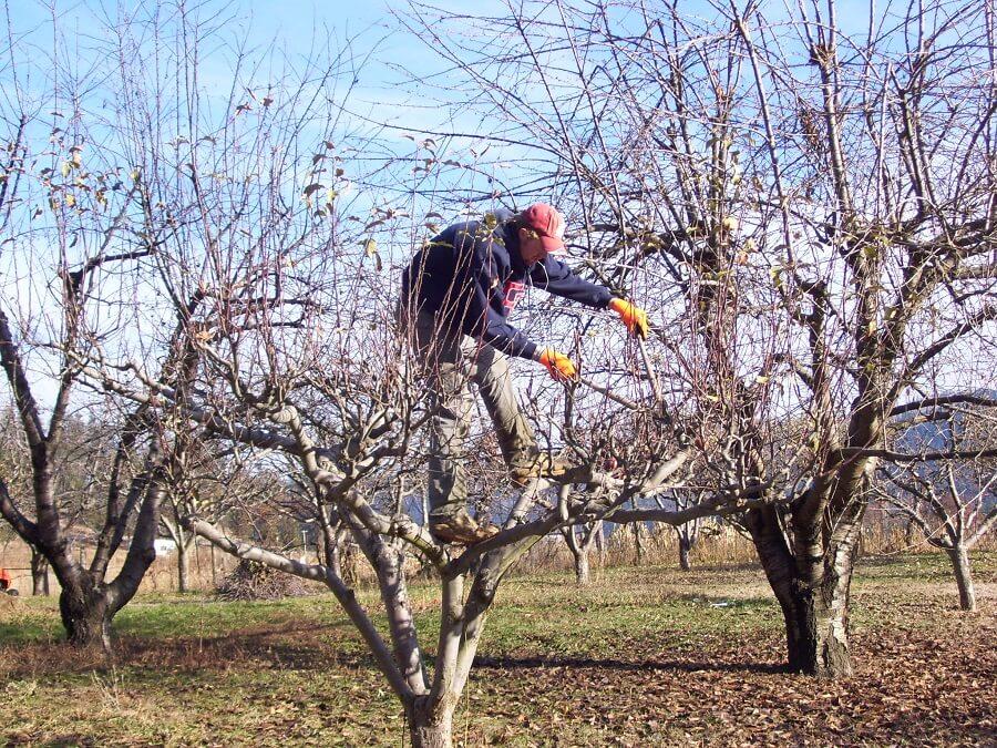 man pruning an apple tree