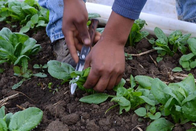man harvesting spinach