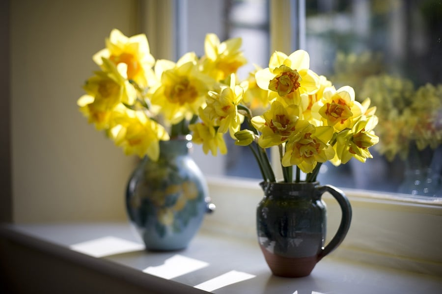 two vases filled with yellow daffodils