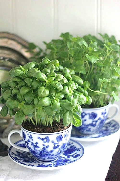 herbs growing in teacups