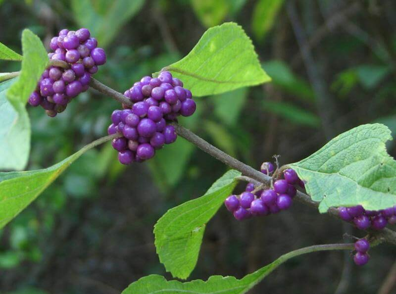 American beautyberry berries