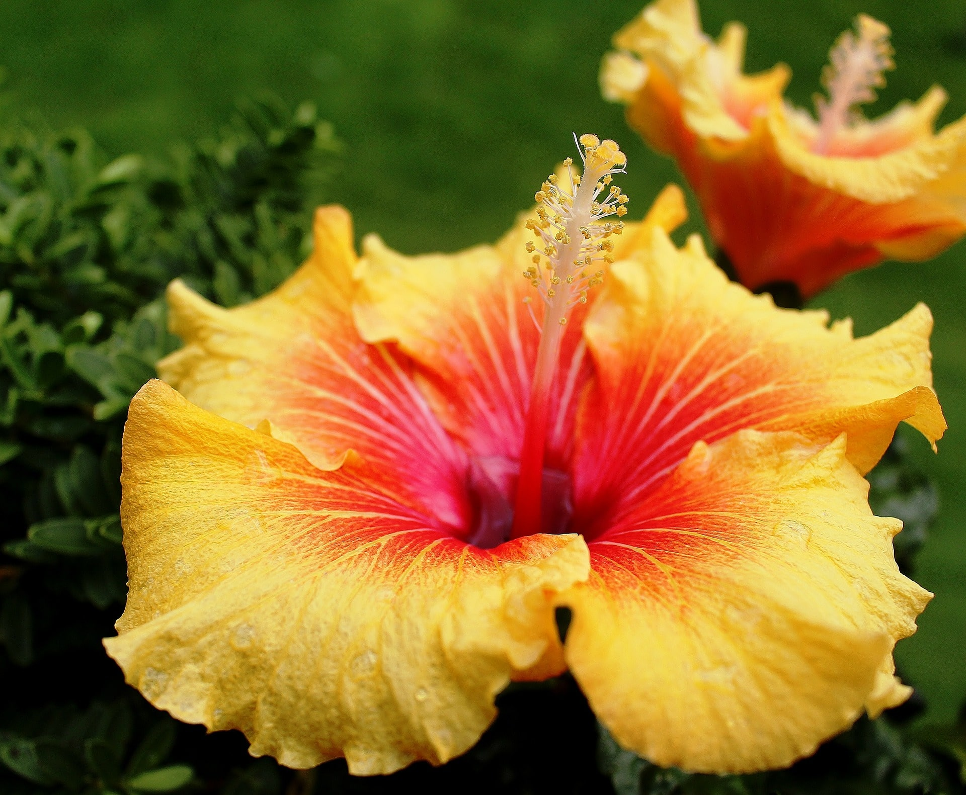 Hibiscus How To Grow Indoors