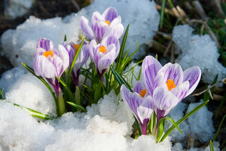 purple flowers surrounded by snow