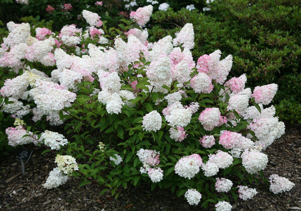 hydrangea paniculata shrub with white blooms