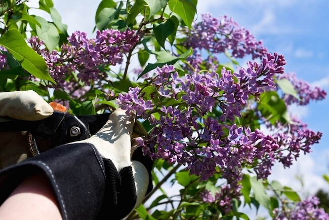 person pruning a lilac bush