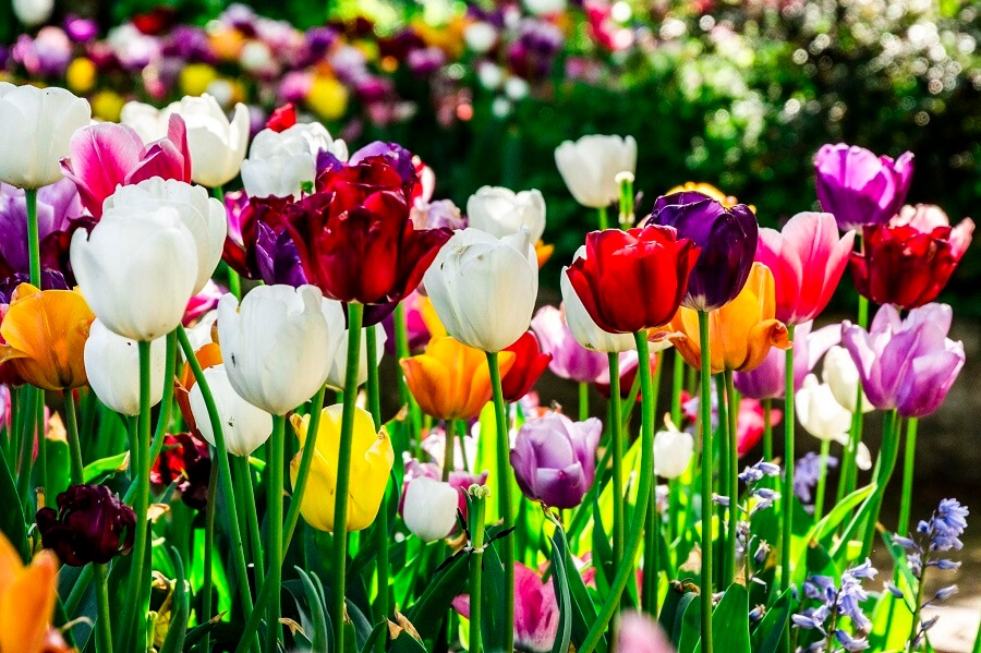 tulips in multiple colors
