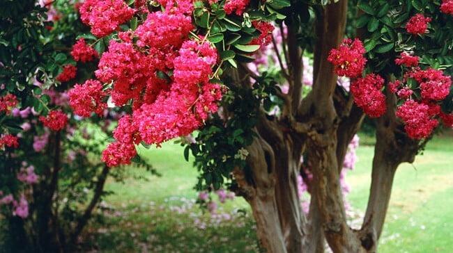 pink crepe myrtle blooms