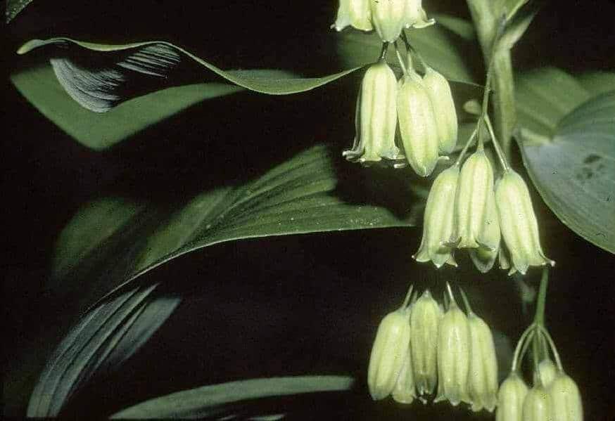 polygonatum stenanthun flowers, japanese flowers