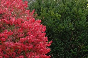 a burning bush next to a green bush