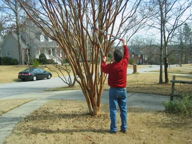 man pruning crepe myrtle, pruning crepe myrtle
