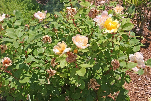 wilted roses bush
