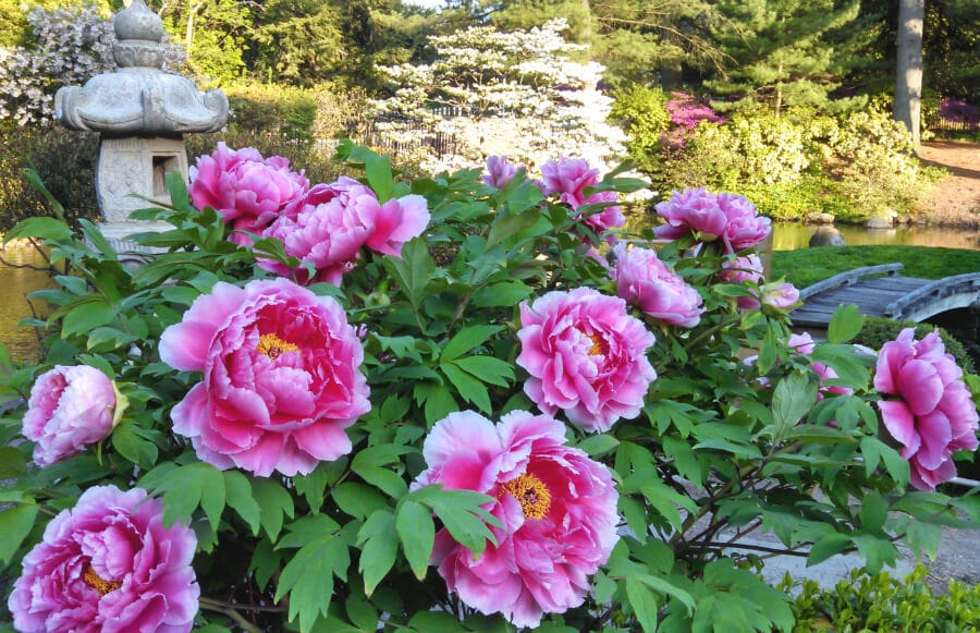 pink japanese tree peony flowers, japanese flowers