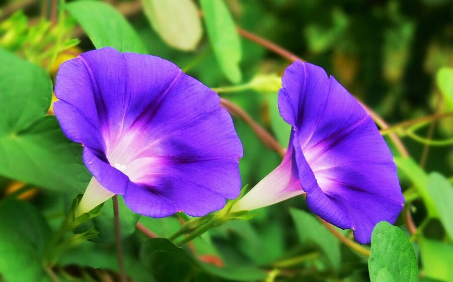 purple morning glories, japanese flowers