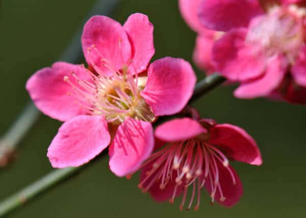 pink apricot flower, japanese flowers