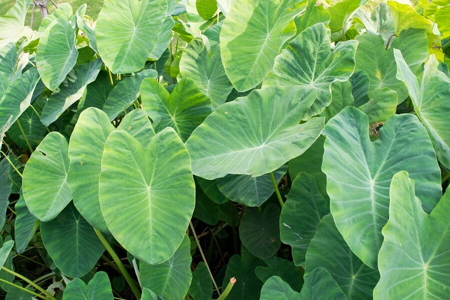 elephant ear leaves