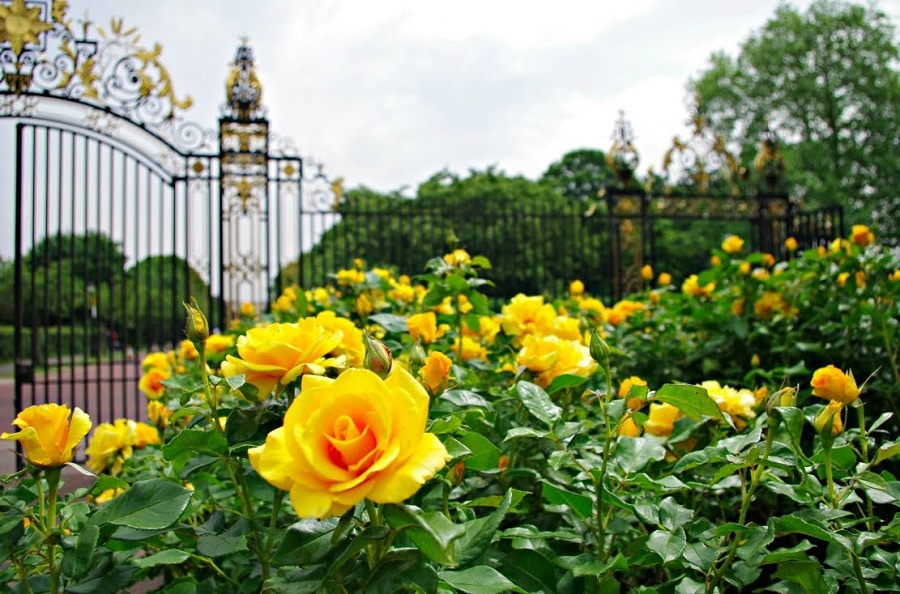 garden filled with yellow roses