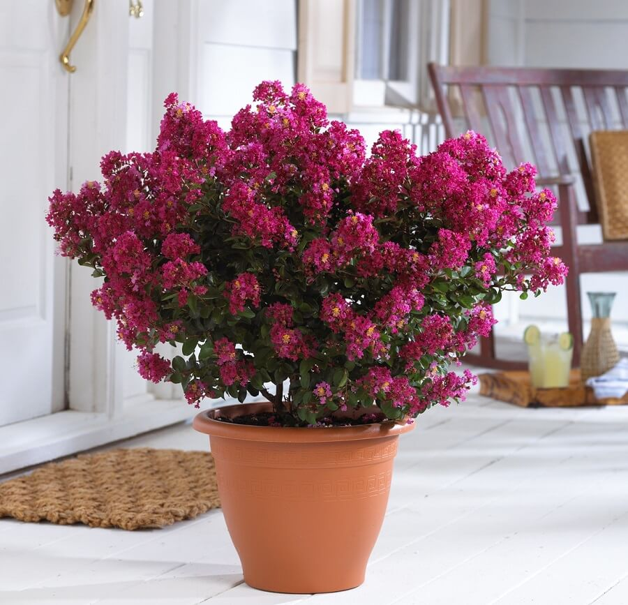 pink crepe myrtle in a pot