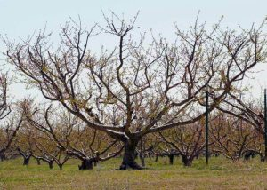 pruned peach tree