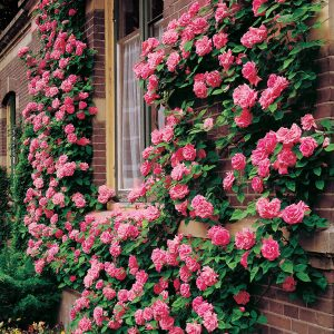 pink roses climbing on the side of a house
