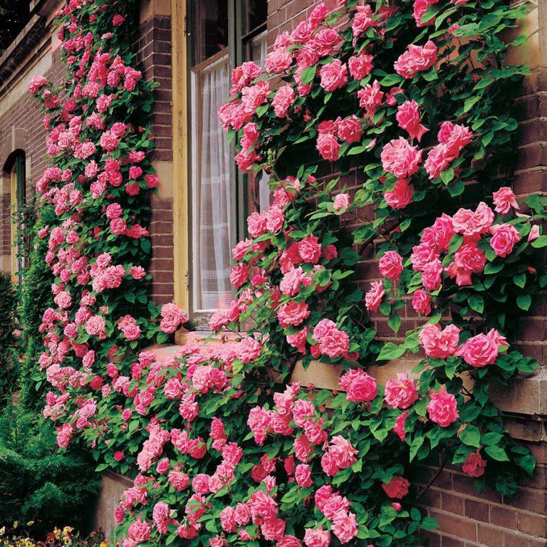 Уход за розой плетущей розы