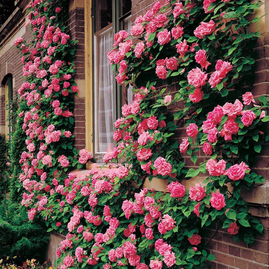 Плетистые розы на дачном участке - венская дача.