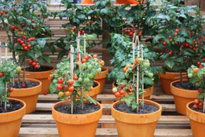 multiple tomato containers