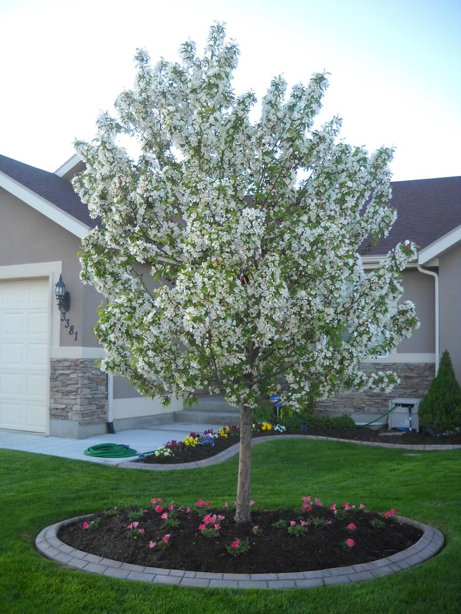 cinderella crabapple tree