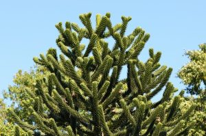 the tip of a monkey puzzle tree