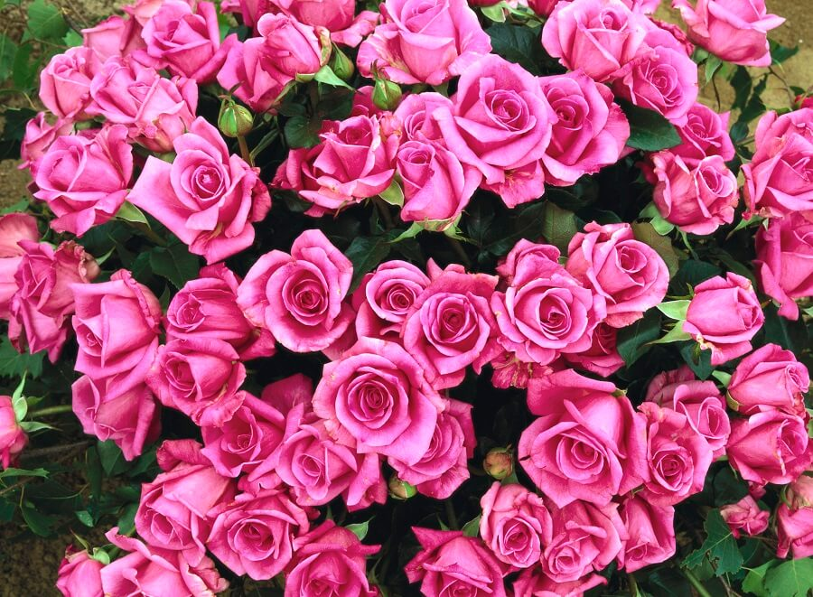 pink roses bouquet, when to prune roses