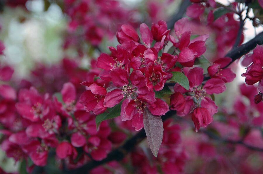 dark pink blooms of a crabapple tree