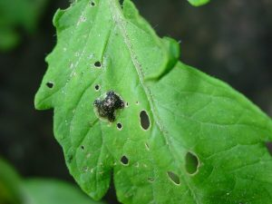 pest on a tomato leaf