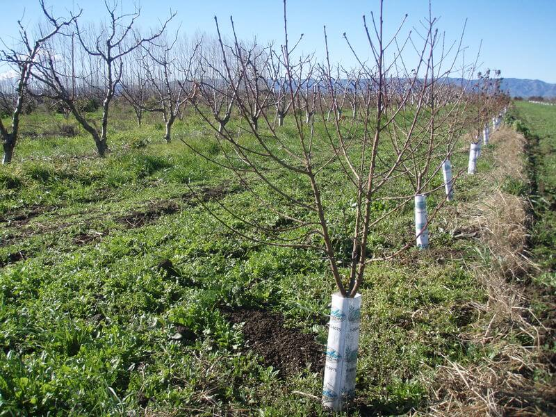 young peach trees in a field, how to prune a peach tree